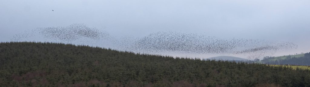 Two starling murmurations and a large incoming flock